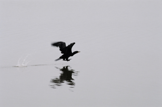 Cormorant Taking Off