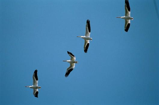 Pelicans of Summer come in their hundreds
