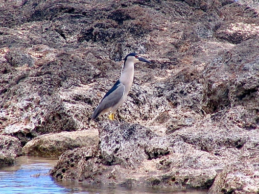 Distant Night Heron