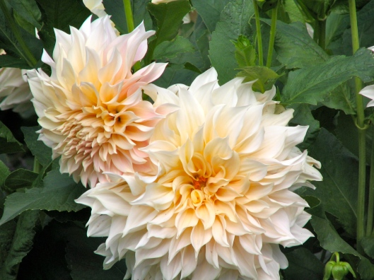 These dahlias take my breath away