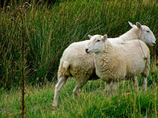 Sheep of North Wales