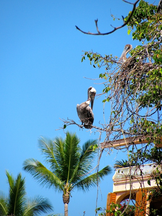 Pelicans in Mexico roost in trees. I had to se it to believe it.