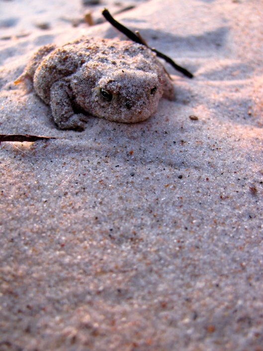 Sand Toad, Hillside Beach