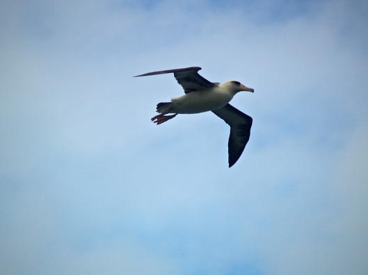 Layson Albatross - Moli