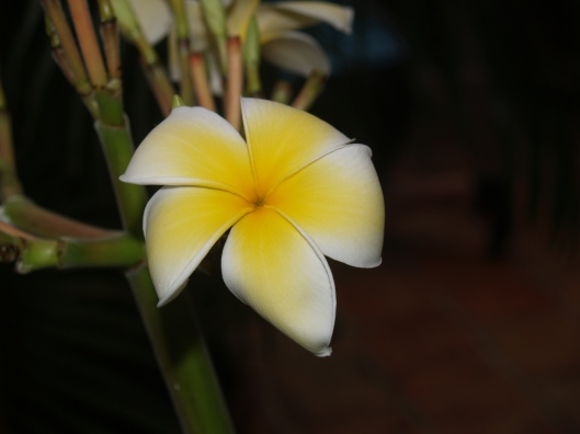 Plumeria - so soft and pure