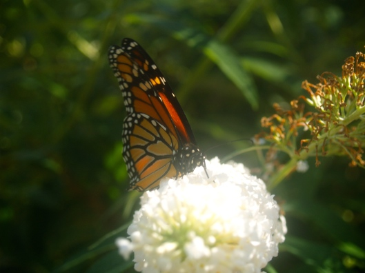 Monarch Butterfly in English Garden, Winnipeg, Canada