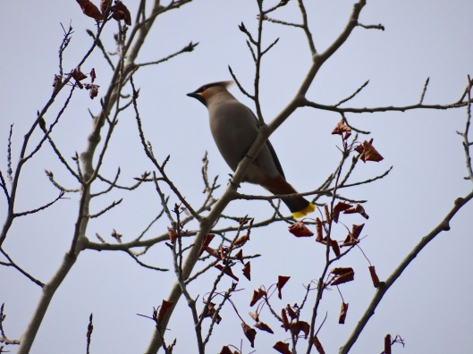 Bohemian Waxwing Among the Buds