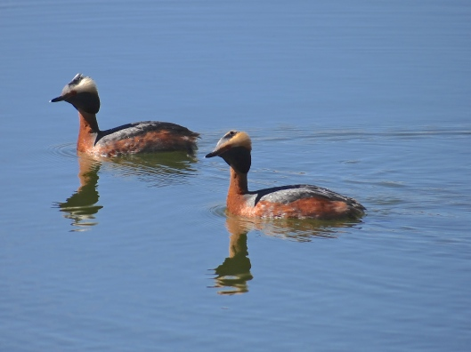 Lovely weather for Grebes