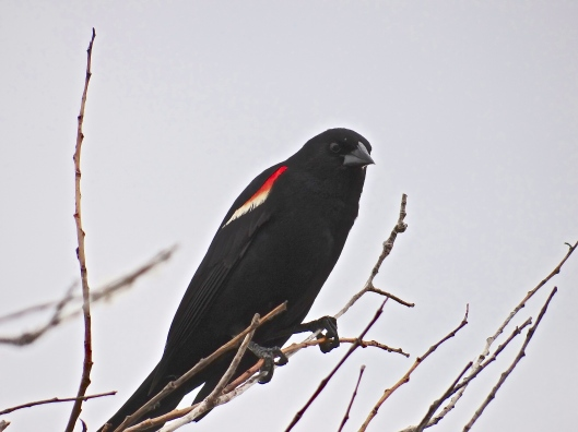 Red Winged Blackbird - Oh  no!