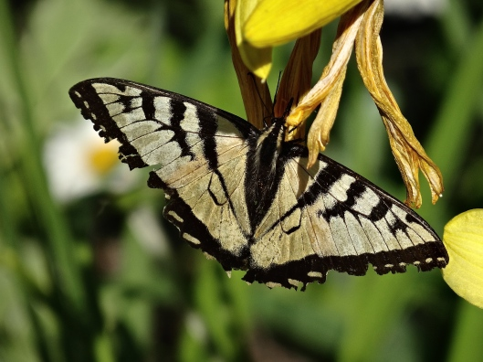 Canadian Tiger Swallowtail on Day Lily