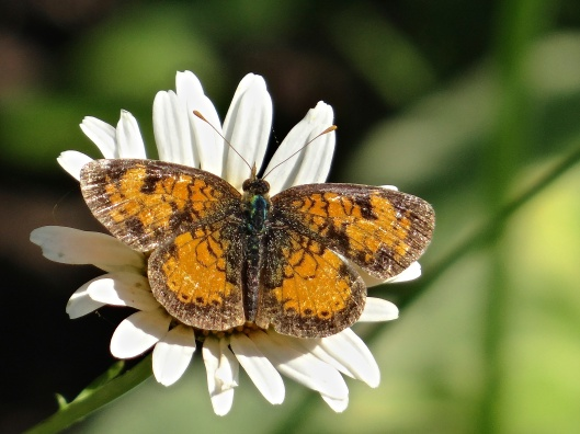 Northern or Pearl Crescent on White Aster