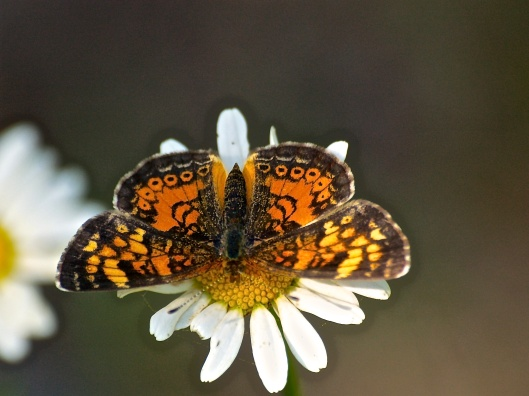 Northern or Pearl Crescent