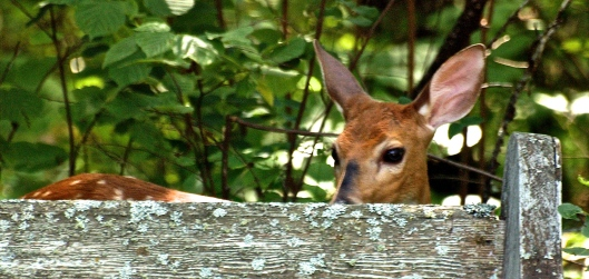 This fawn looked so cute peaking over the top of an old pew