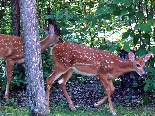 Getting braver, the fawns ventured into the yard