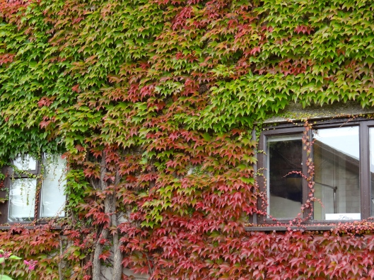 Virginia Creeper starting it's autumn colours