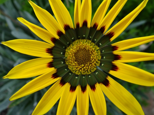 Hyde Hall Gazania