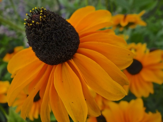 Hyde Hall - Black-Eyed Susan