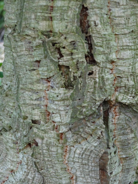 Bark of the Cork Tree at Hyde Hall