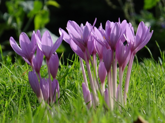 An additional shot of the crocus - no leaves - for Tracy Lee