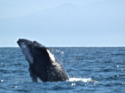 This fuzzy shot was about as good as I was able to capture a breaching whale that day