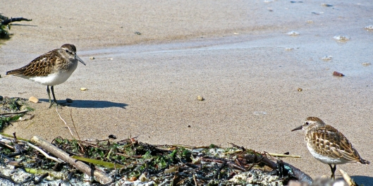 A pair of tiny peeps that surprised us.  Least Sandpipers I am pretty sure.