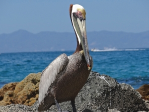 Our Brown Pelican sitting in beautiful Puerto Vallarta