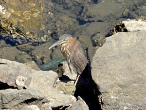 The heron in its habitat among the rocks.