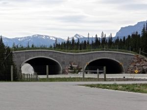 Special bridges built for wildlife to cross the highway