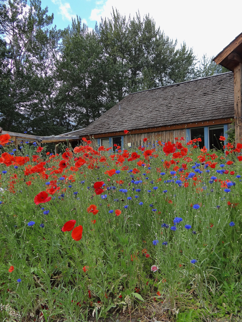 The Grist Mill field of poppies was like an old master