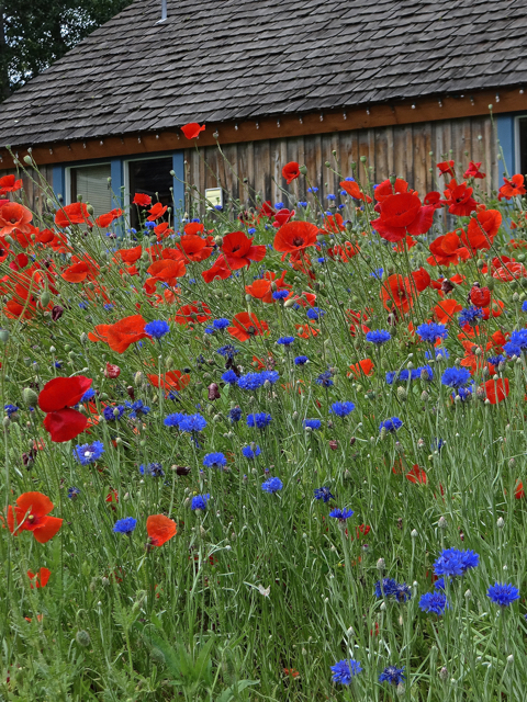 Grist Mill Poppies 2