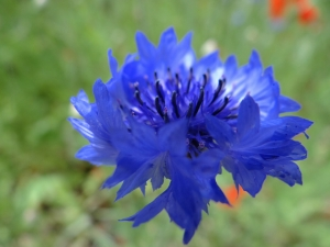 The blues of he cornflower sets off the brilliant red of the poppies