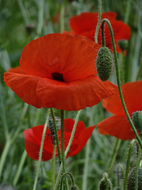 My favourite flower - the simple and elegant poppy