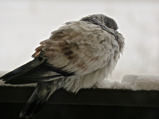 This visitor to our balcony hunkers down from the effects of the first snow and wintery blast